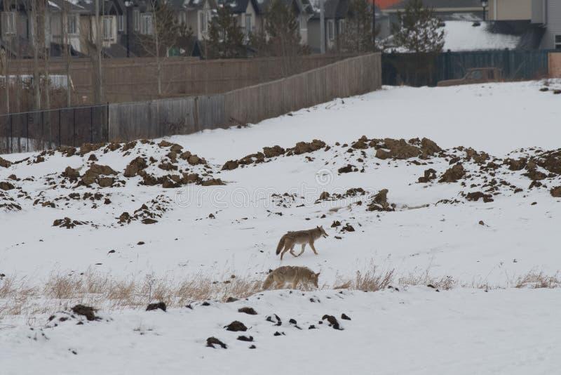Städtische Kojote-Cowboys lizenzfreie stockbilder