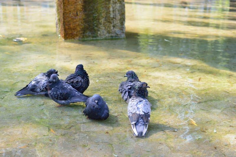 Städtische Taube in der Bewegung, gebadet im Pfützenentweichen von der Hitze stockbild