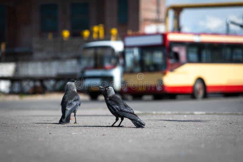 Städtische Vogeltauben und -dohlen am Busbahnhof stockfoto