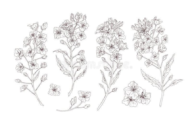 Ställ in av detaljerade botaniska teckningar av att blomma rapsfröt, canola eller senapsgula blommor Packe av skörden eller den k stock illustrationer