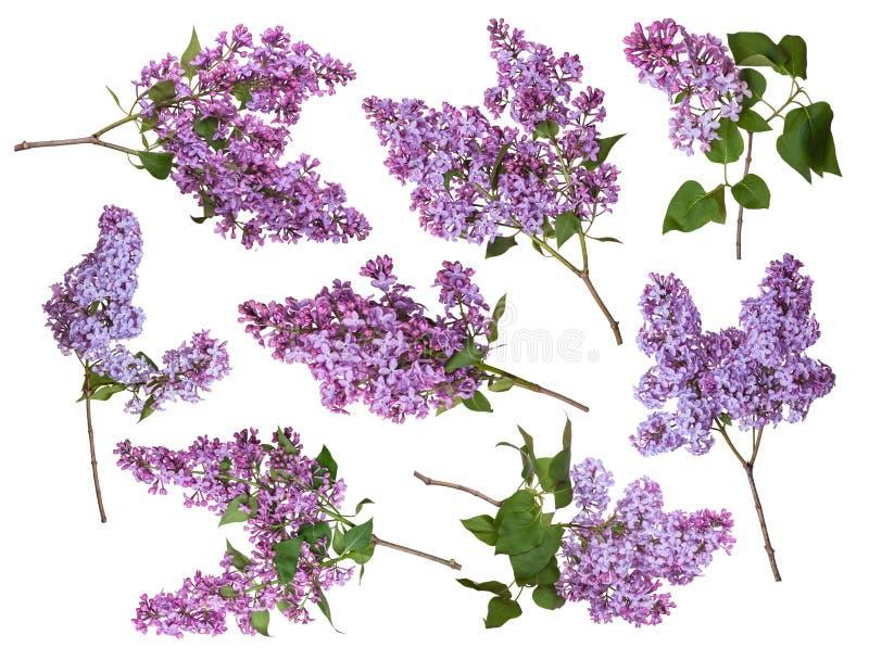 Ställ in av filialer av lilan som isoleras på vit bakgrund blommar den purpura fj?dern royaltyfri fotografi