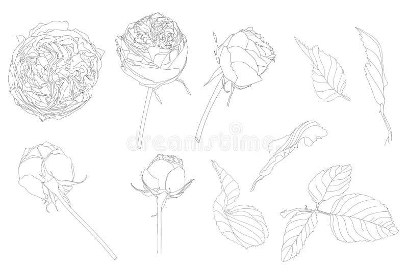 Ställ in av isolerade ros och sidor Gullig blommaillustration i hand dragen stil vektor illustrationer