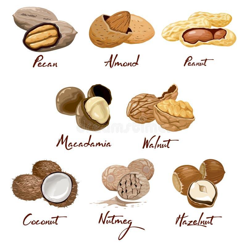 Ställ in av namngav symbolsmuttrar Valnöt kokosnöt, muskotnöt, hasselnöt, pecannöt, mandel, jordnöt, macadamia Näring och jordbru stock illustrationer