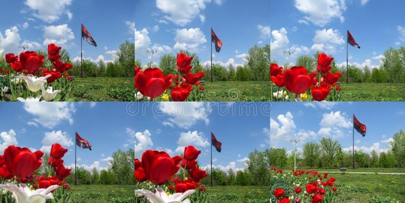 Ställ in av sex foto med röda tulpan på bakgrunden av den svarta och röda flaggan av den högra sektoren i Ukraina royaltyfri fotografi