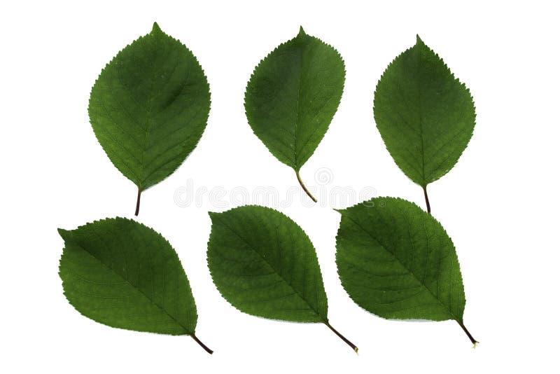 Ställ in av sex gröna sidor av körsbär som isoleras på vit bakgrund royaltyfria foton