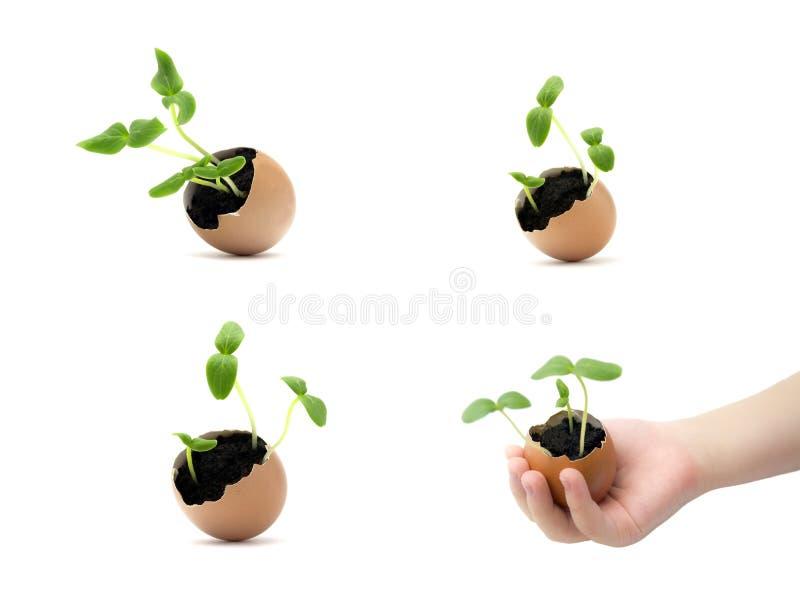 Ställ in av växande groddar i äggskal i barnhänder groende kärnar ur Barnhand som rymmer en grodd i ägg med jord som isoleras på  arkivfoto