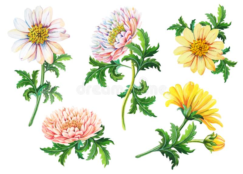Ställ in av vattenfärgkrysantemum på en vit bakgrund Sommar blom- illustration för höst av guling stock illustrationer