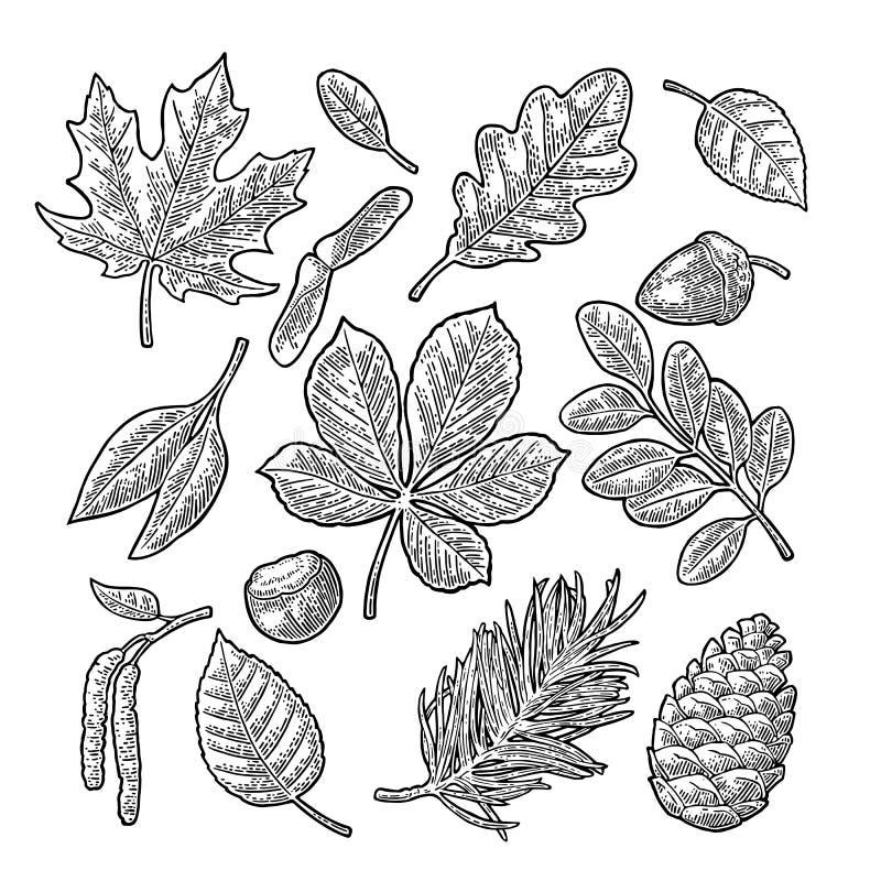 Ställ in bladet, ekollonen, kastanj och kärna ur Inristad illustration för vektor tappning vektor illustrationer