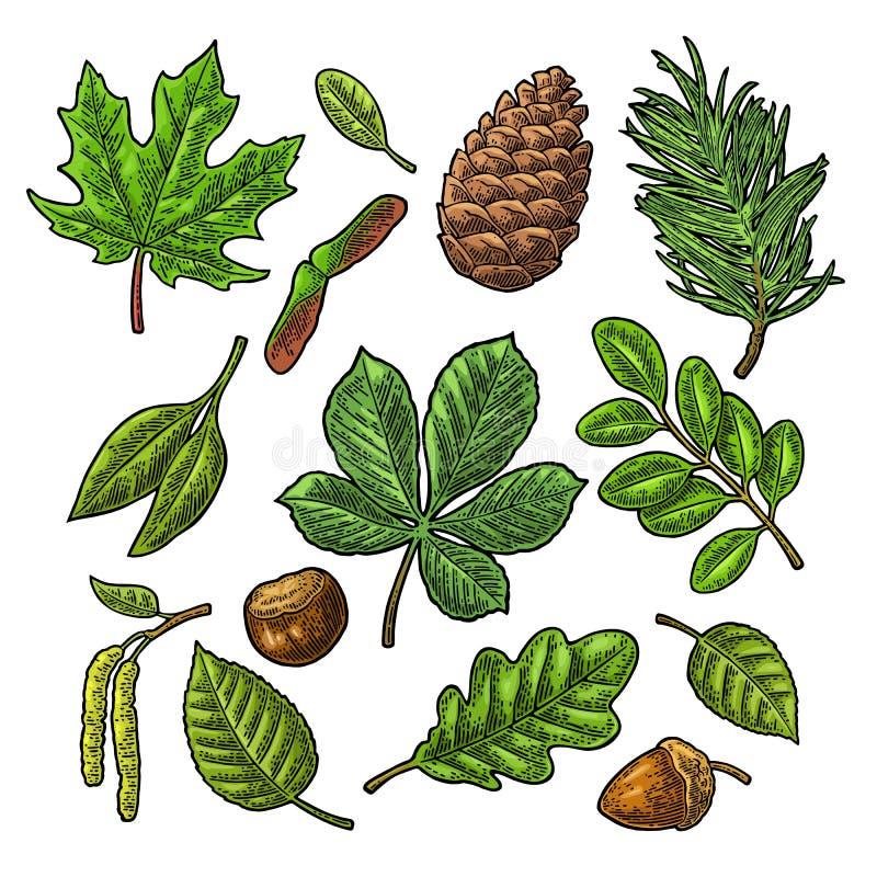 Ställ in bladet, ekollonen, kastanj och kärna ur Inristad vektortappningfärg royaltyfri illustrationer
