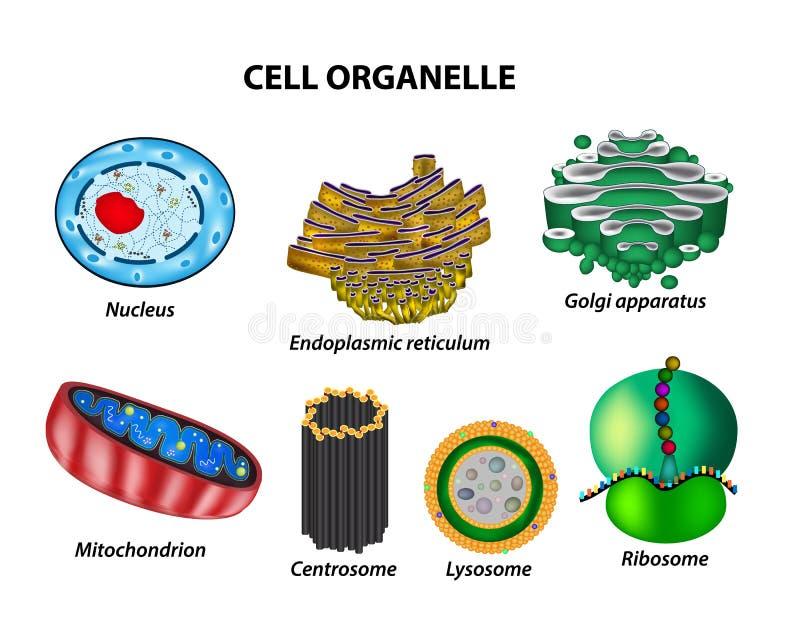 Ställ in cellorganellesna Kärna endoplasmic nätmage, Golgi a arkivbild