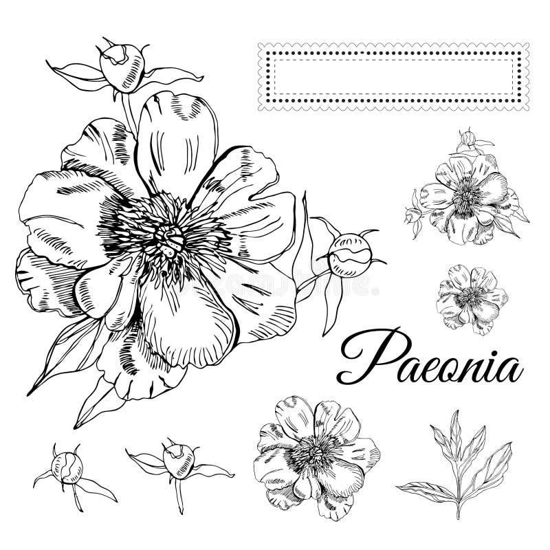 Ställ in med blommor av pionen och gränsen för text Handen dragit f?rgpulver skissar Svartobjekt som isoleras p? vit bakgrund stock illustrationer