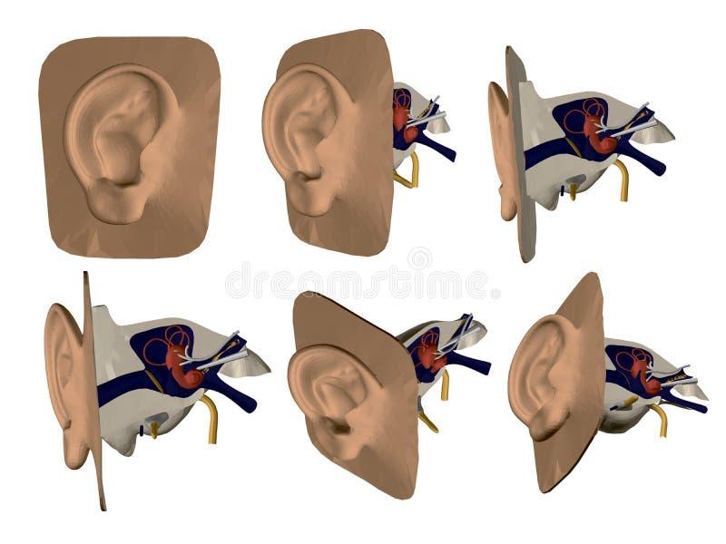 Ställ in med modellen av det mänskliga örat Inre organ av örat Struktur av det mänskliga örat Framdel sida, isometrisk sikt 3d ve royaltyfri illustrationer