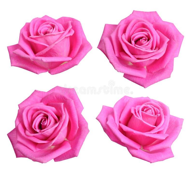 Ställ in med rosa rosor bakgrund isolerad white royaltyfri bild