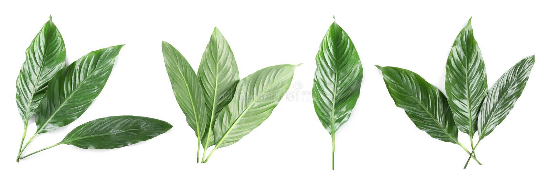 Ställ in med tropiska Spathiphyllum sidor arkivfoton