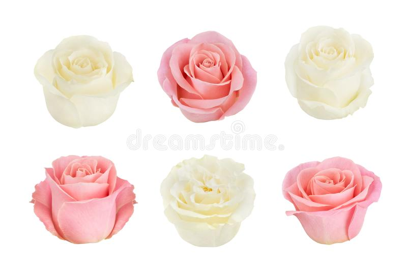 Ställ in med vita rosor för rosa färger och Som designbeståndsdelar arkivfoton