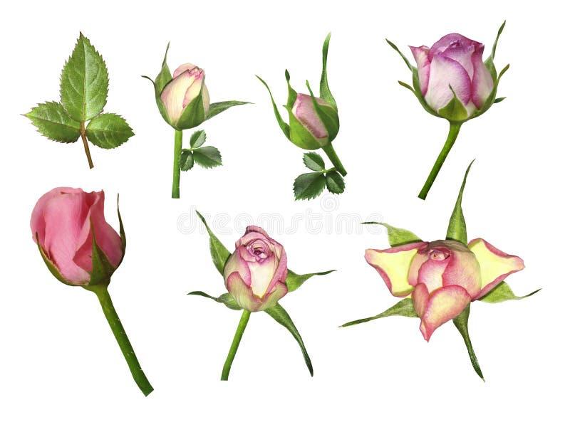 Ställ in rosa färg-vit rosor på en vit isolerad bakgrund med den snabba banan Inget skuggar Knopp av en ros på stjälk med gröna s royaltyfria foton