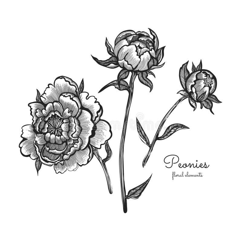 Ställde den detaljerade handen drog blommor in - blommande pioner bakgrund isolerad white Vektorn blommar i tappningstil vektor illustrationer