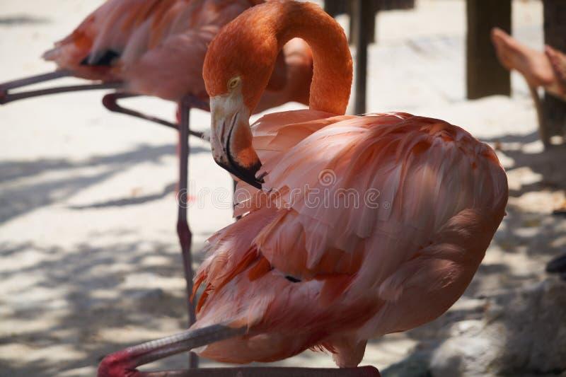 Stället du önskar att se att de berömda flamingo är renässansön, den ägde ön för a privat - vid den renässansAruba semesterorten  royaltyfri foto