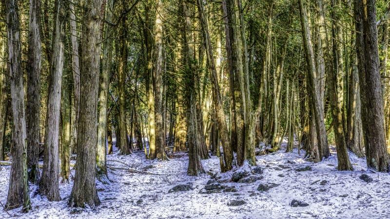 Ställning av mörka träd i vinter arkivfoton