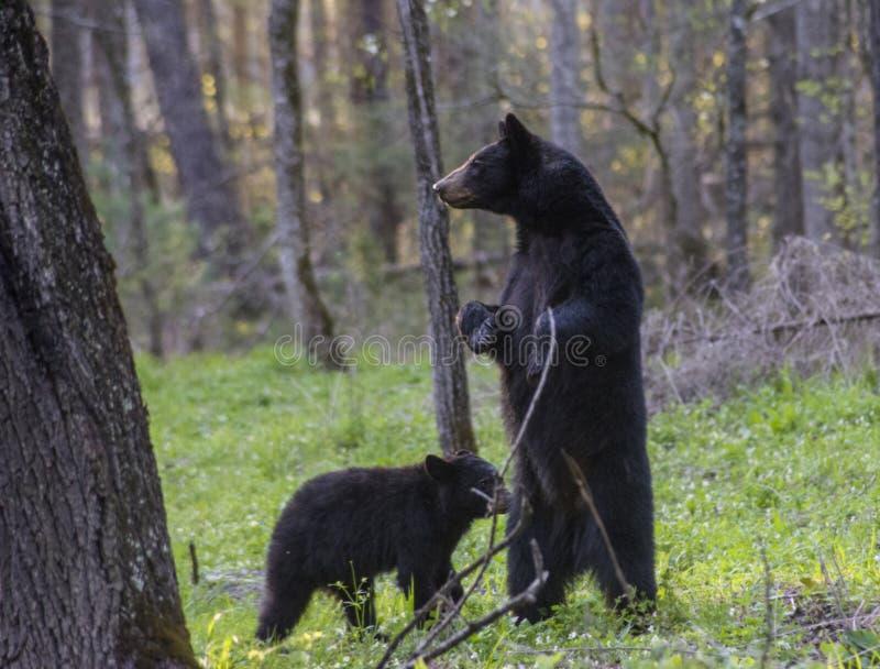 Ställningar för en svart björn för moder på henne lägger benen på ryggen tillbaka att se omkring royaltyfria bilder