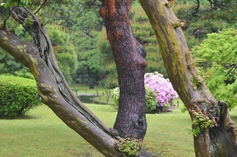 Stämme eines rosa gesehene durch alte Baums der Azalee Busch in einem formalen japanischen Garten stockfoto