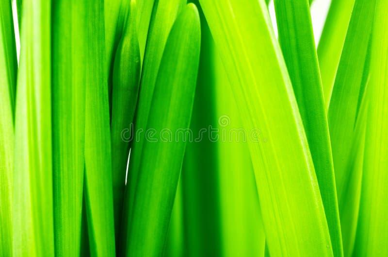 Stämme und Blätter von Narzissen stockfotografie