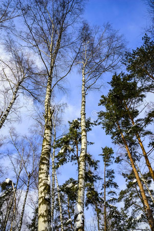 Stämme von Birken und von Kiefern in einem Forest Park an einem eisigen Tag des sonnigen Winters gegen den blauen Himmel Russland lizenzfreies stockfoto