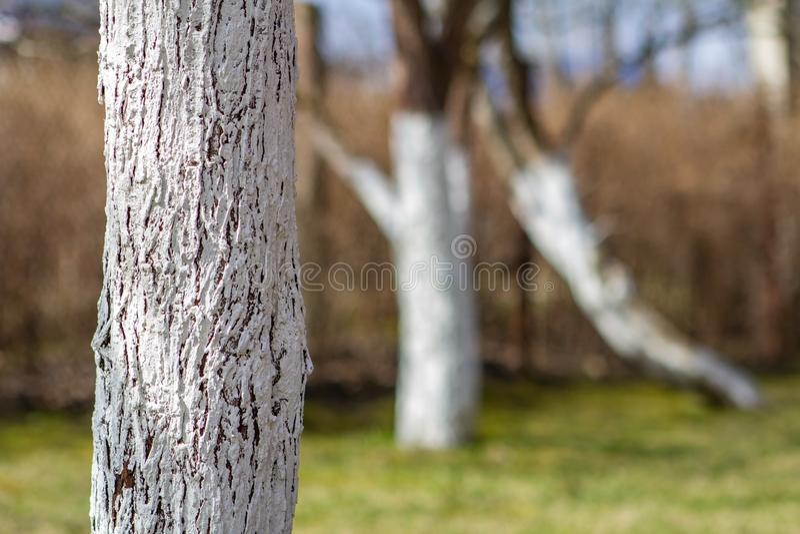 Stämme von den Apfelbäumen gemalt mit weißer Farbe, um sich gegen Nagetiere im Garten im Frühjahr zu schützen stockfotografie