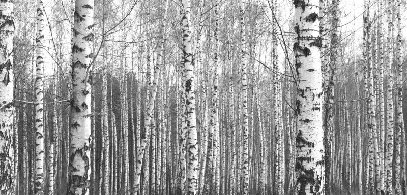 Stämme von Suppengrün, natürlicher Schwarzweiss-Hintergrund stockfoto