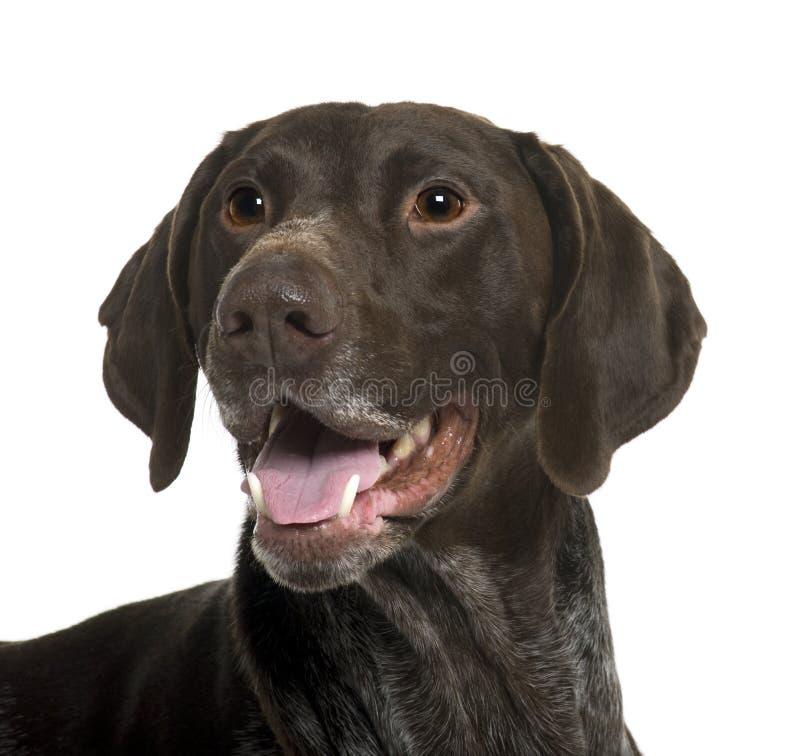 stäng övre för tysk pekare för hund shorthaired arkivfoto