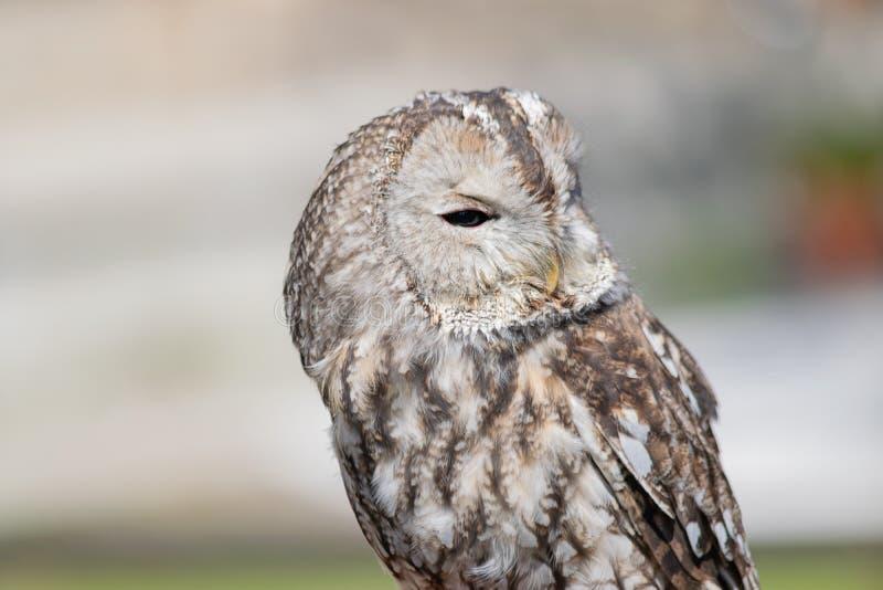 Stäng av tawny uggla Utbildningsbegrepp för vilda rovdjur royaltyfri fotografi