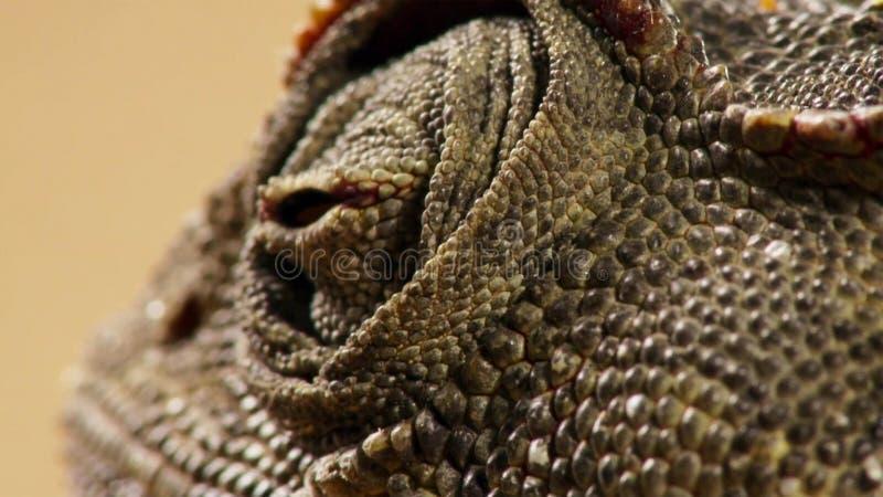 Stäng sig av en öken anpassade upp namaquensis för Namaqua kameleontChamaeleo i Namibia Afrika royaltyfria bilder