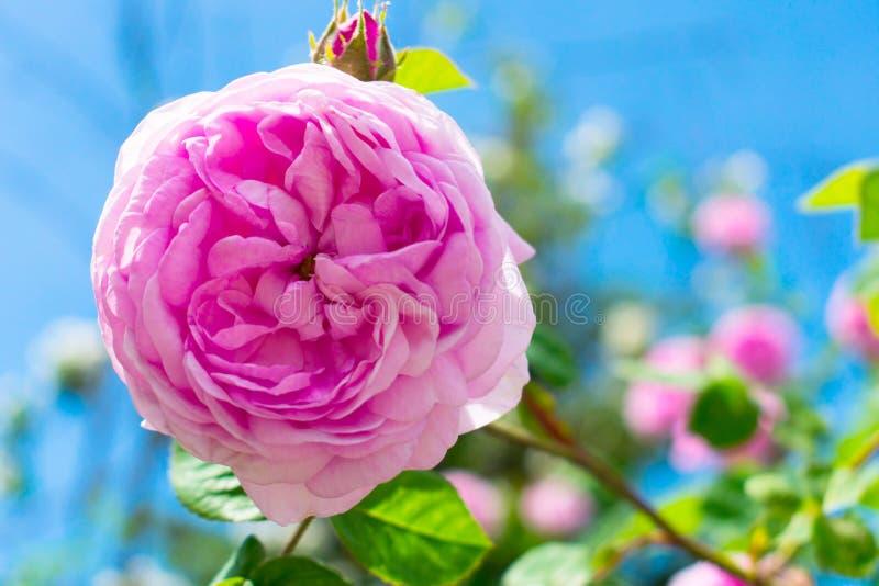 Stäng sig av en härlig rosa färg steg upp mot en blå himmel arkivfoton