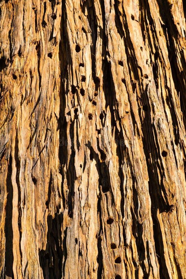 Stäng sig av gamla döda sörjer upp trädskället med hål som borras in i det av ekollonhackspetter, Kalifornien royaltyfri foto