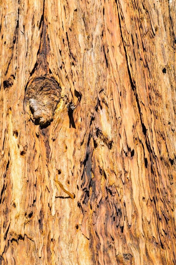 Stäng sig av gamla döda sörjer upp trädskället med hål som borras in i det av ekollonhackspetter, Kalifornien arkivfoton
