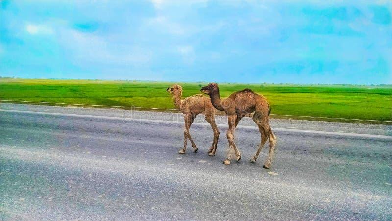 Stäng sig av två behandla som ett barn upp kamel som går på en huvudväg royaltyfria foton
