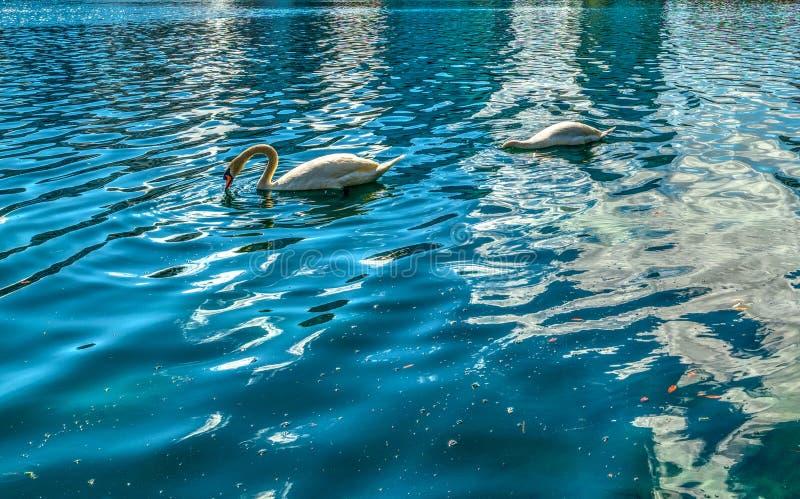 Stäng sig av två vita svanar i sjön Eola parkerar upp på en solig dag royaltyfria foton