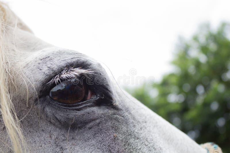Stäng sig upp av öga för vit häst på solig dag arkivbild
