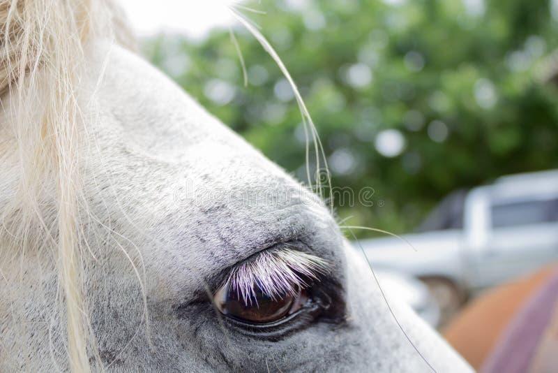 Stäng sig upp av öga för vit häst på solig dag royaltyfria bilder