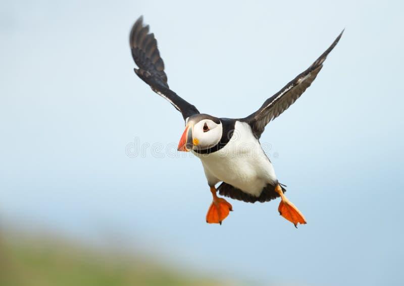 Stäng sig upp av atlantisk lunnefågel i flykten royaltyfri bild