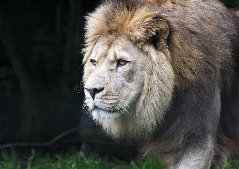Stäng sig upp av att stryka omkring den manliga afrikanska lejonpantheraen leo royaltyfri foto