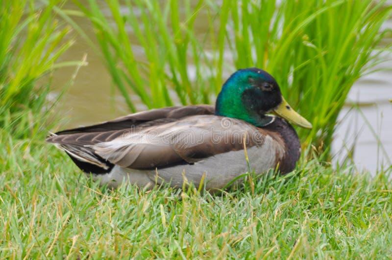 Stäng sig upp av att vila gräsandanden på gräset, manligt royaltyfri bild