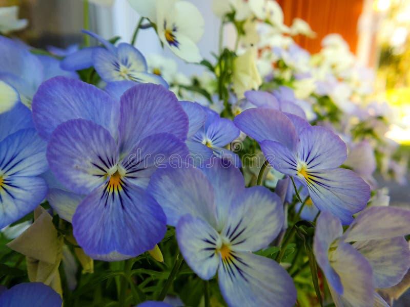 Stäng sig upp av blåa purpurfärgade penséblommor, pansies som blommar i vårträdgård royaltyfri foto