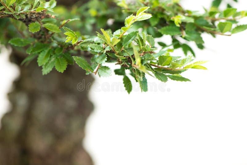 Stäng sig upp av blad från en kinesisk alm arkivfoton
