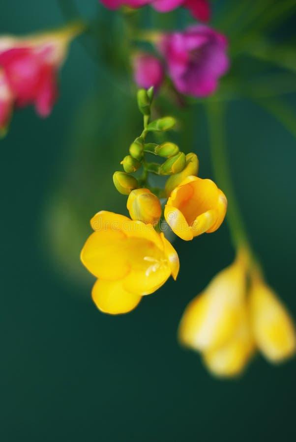 Stäng sig upp av bukett av vårrosa färger och gulna freesiablommor på grön bakgrund royaltyfri fotografi