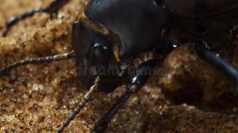 Stäng sig upp av Darkling skalbaggar som fördunklar för att kondensera på dess kropp I dyn av Namiben Namibia arkivfoto