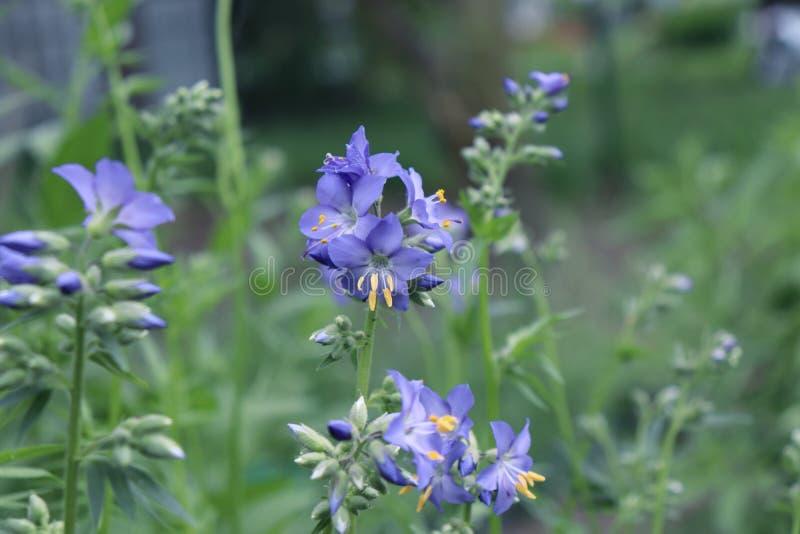 Stäng sig upp av de blåa blommorna av en Polemoniumväxt, också som är bekanta som Jacob-stegen eller grekisk valeriana, Polemonia arkivfoto