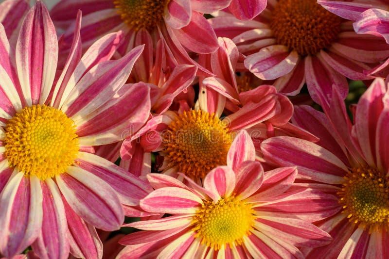 Stäng sig upp av de rosa och vita blommorna oavkortad blom, service på kyrkan royaltyfri fotografi