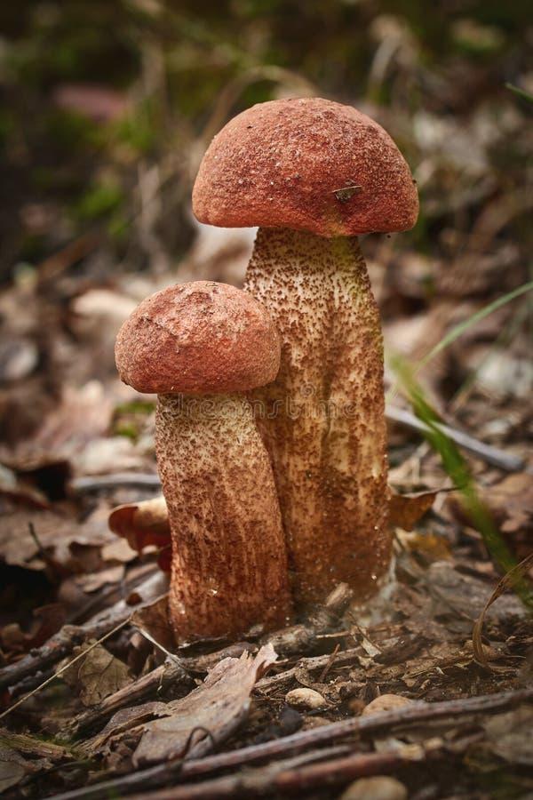 Stäng sig upp av den ätliga röd-korkade champinjonen för aurantiacumen för scaberstjälkleccinumen på skogen arkivbild
