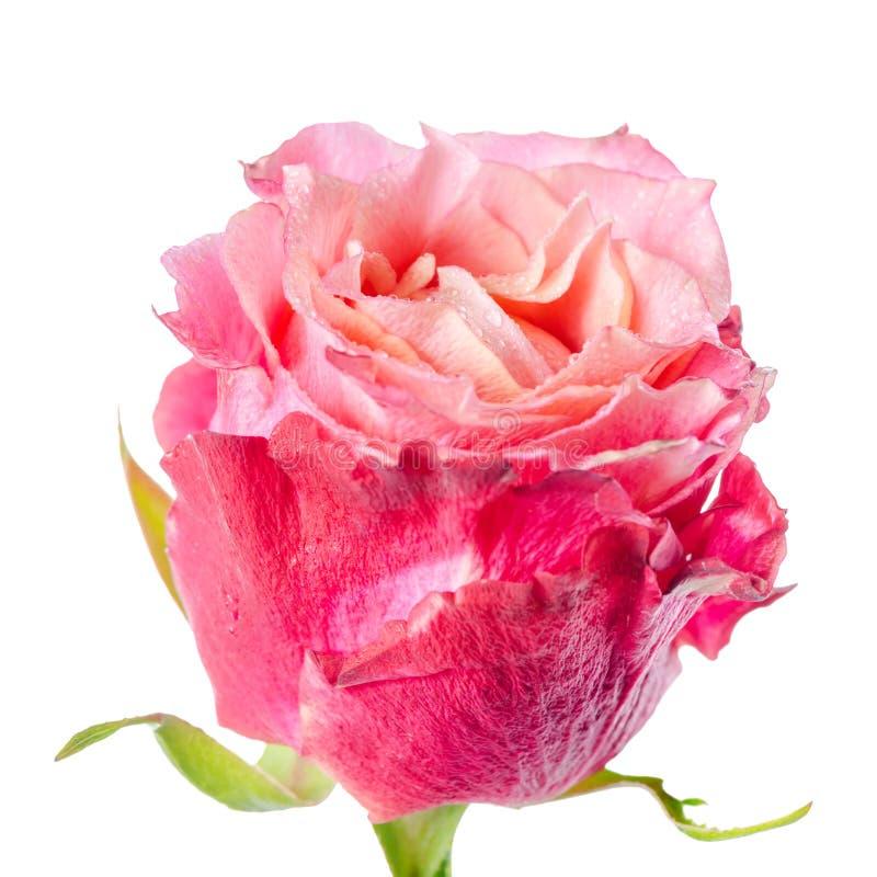 Stäng sig upp av den abstrakta romantiska härliga röda och rosa rosblomman arkivbild